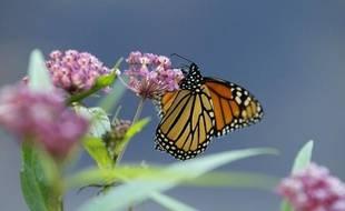 Un papillon monarque sur une asclépiade, au Minnesota.