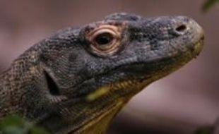 Flora va donner naissance à huit bébés Komodos.