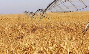 Illustration d'un champ de maïs très touché par la sécheresse.