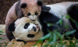 Le bébé panda Yuan Meng et sa mère Huan Huan dans leur nouvel enclos du zoo de Beauval le 12 janvier 2018.