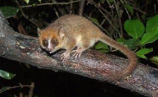 Le microcèbe, petit primate d la famille des lémuriens, a une durée de vie d'une douzaine d'années.