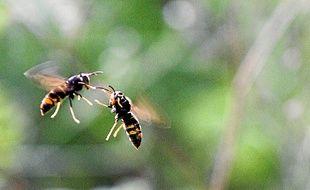 Des frelons asiatiques chassent devant une ruche d'abeilles (Archives).