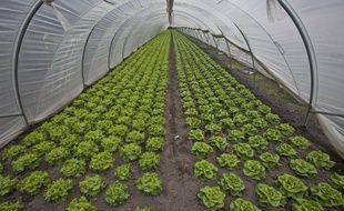 Illustration: des salades sous serre.