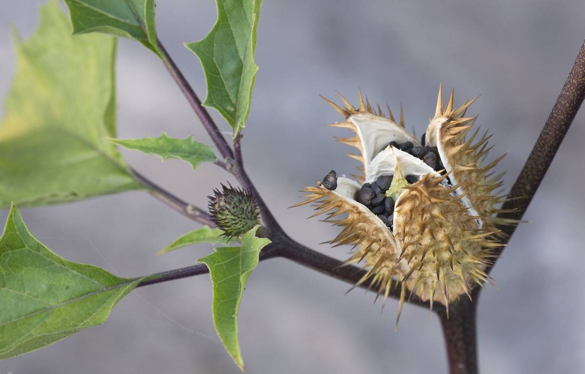 La scopolamine est issue d'une plante hallucinogène: le datura – SIPA PRESS