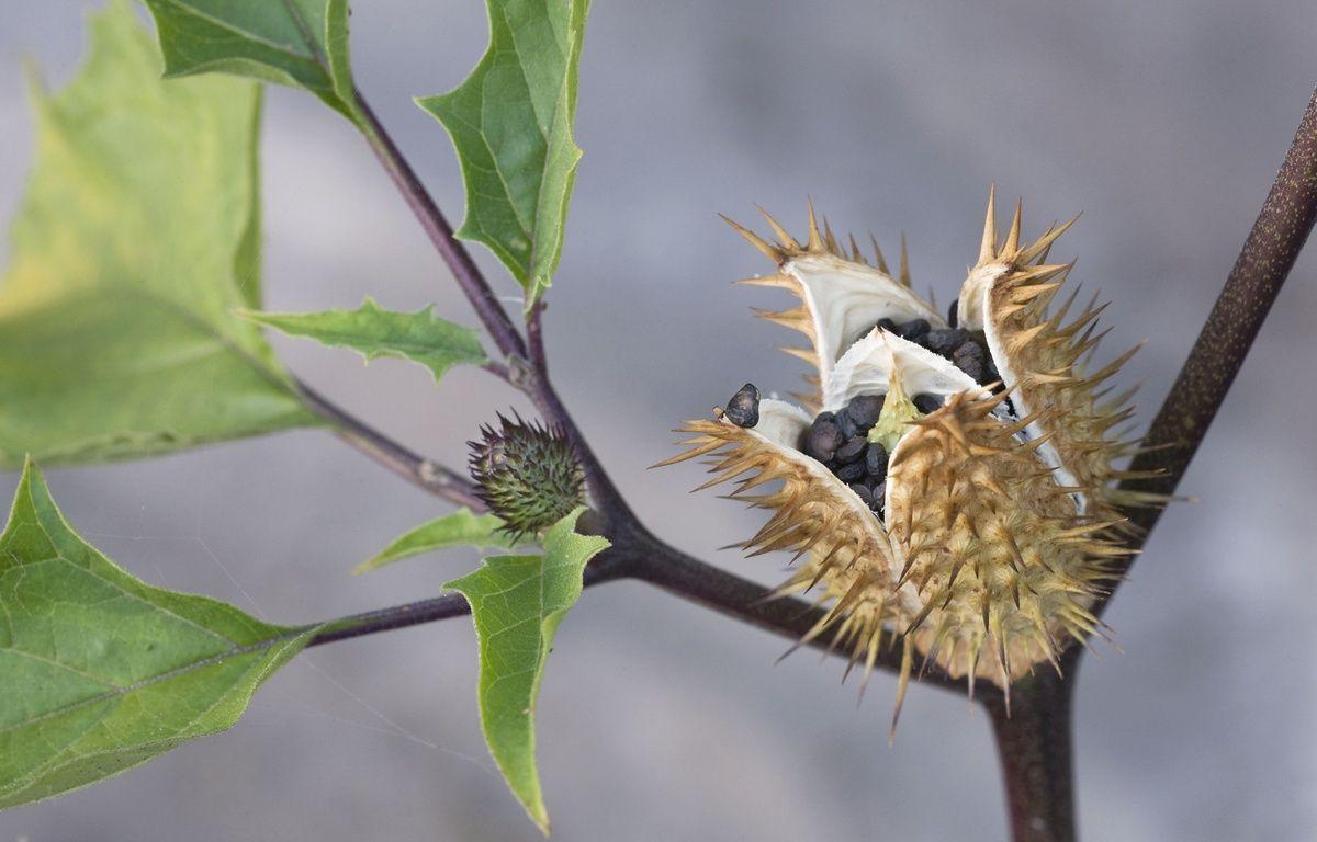 La scopolamine est issue d'une plante hallucinogène: le datura – SIPA PRESS