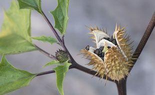 La scopolamine est issue d'une plante hallucinogène: le datura
