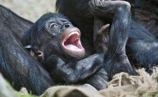 Un bonobo de six mois au zoo de Berlin.