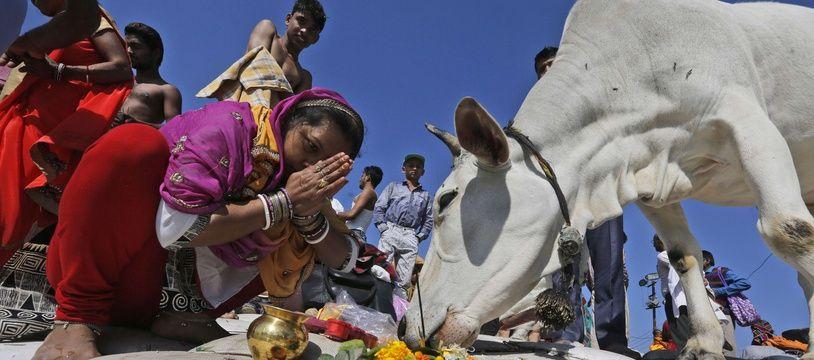 Un musulman soupçonné d'avoir tué une vache - animal sacré pour les Hindous - a été tué par la foule en Inde. (illustration)