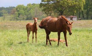 Belle Argence, une des juments de l'actuelle manufacture équestre proposée sur My Horse Family.