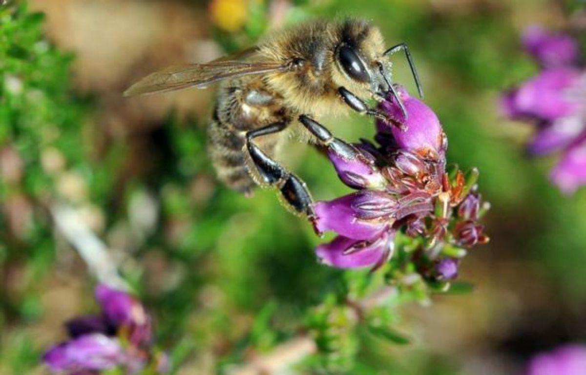 Un pesticide largement utilisé depuis les années 1990 est nuisible aux bourdons et abeilles, provoquant des troubles de l'orientation qui les empêchent de retrouver leur ruche ou de se nourrir convenablement, selon deux études --française et britannique-- publiées jeudi. – Fred Tanneau afp.com
