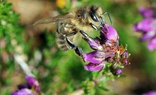 Un pesticide largement utilisé depuis les années 1990 est nuisible aux bourdons et abeilles, provoquant des troubles de l'orientation qui les empêchent de retrouver leur ruche ou de se nourrir convenablement, selon deux études --française et britannique-- publiées jeudi.