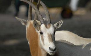 Un oryx algazelle a vu le jour dans un zoo de Plaisance-du-Touch, près de Toulouse. Cette espère est éteinte à l'état sauvage. Illustration