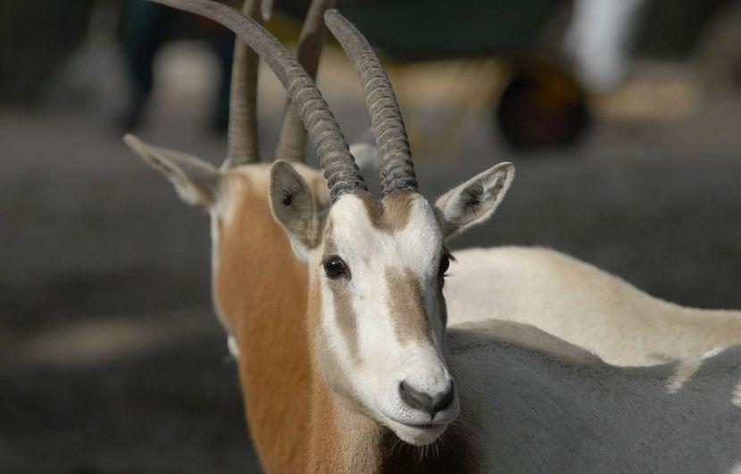 Haute-Garonne: Espèce disparue à l'état sauvage, un oryx algazelle est né au zoo African Safari