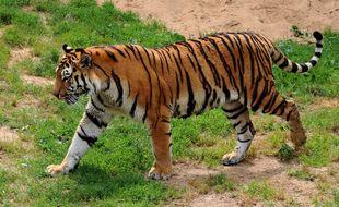 Un tigre de Sibérie a attaquée une soigneuse dans un zoo russe (illustration)