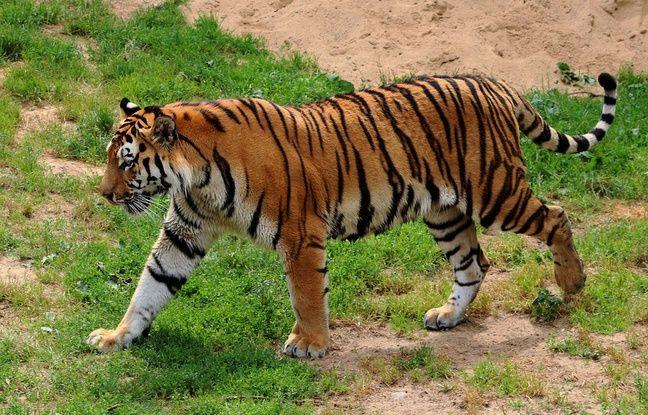 648x415 tigre siberie attaquee soigneuse zoo russe illustration