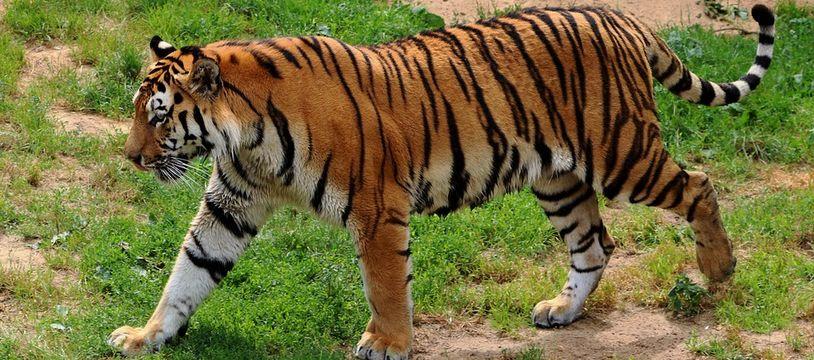Un tigre de Sibérie (illustration).