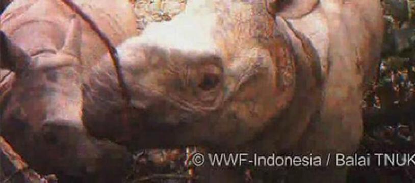 Un rhinocéros de Java et son petit filmés par des caméras cachées dans le parc national d'Ujung Kulon (Indonésie).