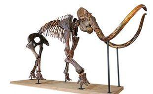Le 16 décembre, un squelette de mammouth sera vendu aux enchères chez Aguttes à Lyon.