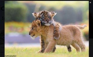 Les photos de l'amitié entre un bébé tigre et un lionceau dans un parc animalier japonais régalent les internautes.