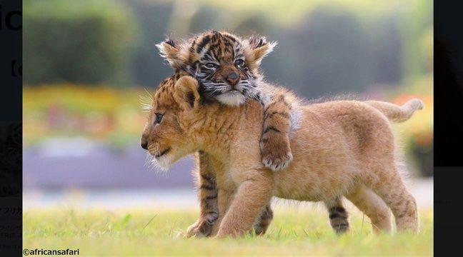 Japon l 39 amiti entre un b b tigre et un lionceau fait - Bebe tigre mignon ...