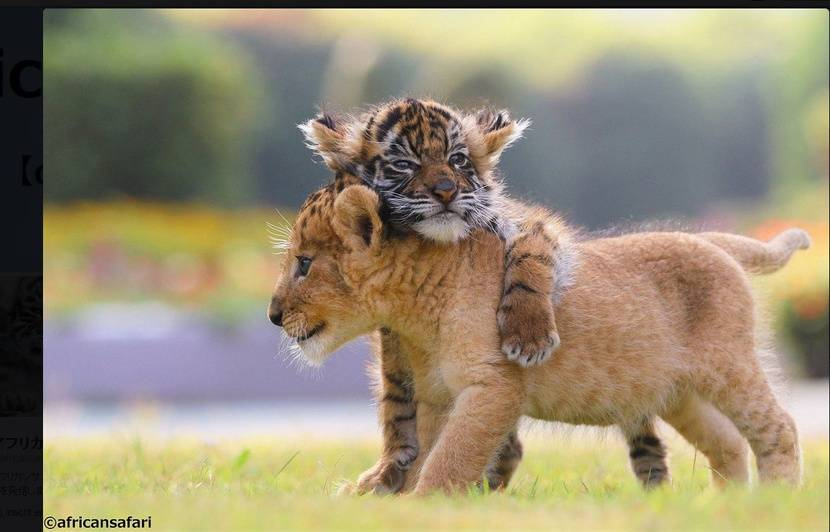 Célèbre Japon: L'amitié entre un bébé tigre et un lionceau fait fondre l  HC16