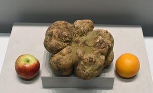La plus grosse truffe blanche au monde, pesant 1,89 kilo.