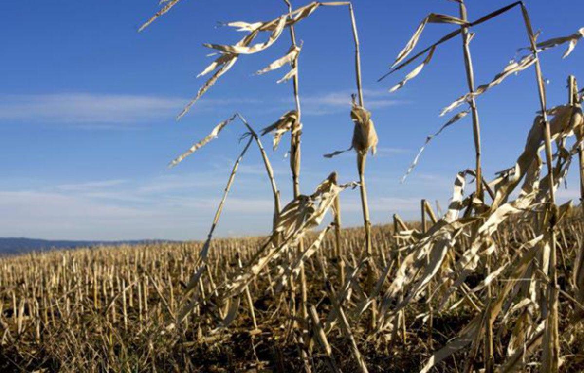 Un champ de maïs après la récolte.  – JAUBERT/SIPA