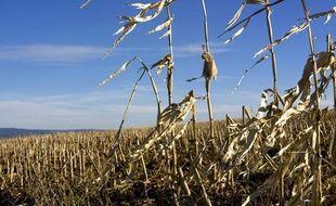 Un champ de maïs après la récolte.