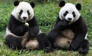 Zhizhi et Qiqi font partie des six pandas du centre de Chengdu relâchés dans la nature le 11 janvier 2012.