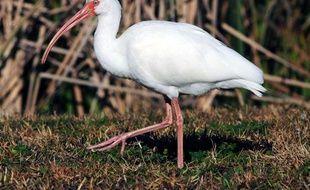 Un ibis blanc d'Amérique, en Floride.