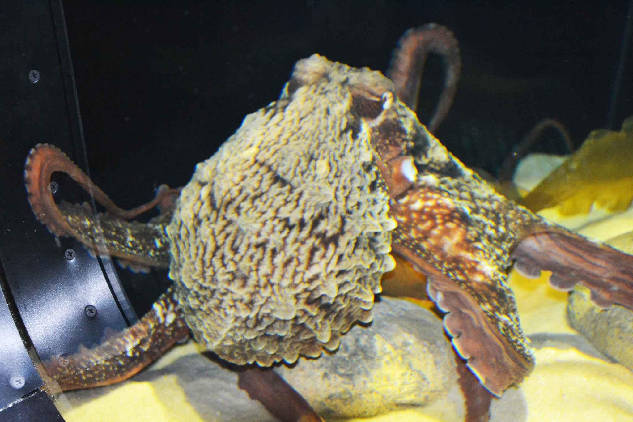 vid 201 o montpellier d 233 couvrez la nouvelle pieuvre g 233 ante de l aquarium mare nostrum