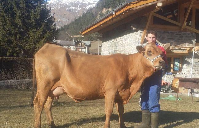 Intrawest, vache tarantaise en lice pour le concours général du Salon de l'agricilture 2017.