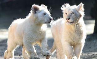 Yôko et Tankwa, quatre mois, au zoo de la Flèche ce vendredi 22 février.