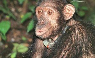 Les chimpanzés peuvent autre aussi manipulateurs que les humains (illustration).