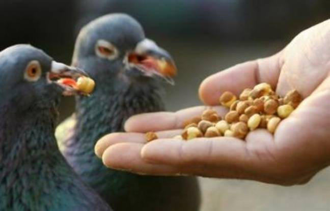 un pigeon en garde vue pour trafic de drogue un chat quatre oreilles. Black Bedroom Furniture Sets. Home Design Ideas