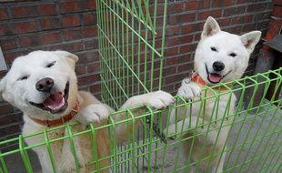 Illustration de chiens de la race Pungsan.