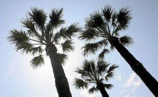 Dans les Alpes-Maritimes, 300 palmiers sont aujourd'hui infestés par le charançon rouge.