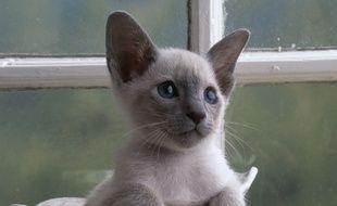 Un jeune chat siamois (illustration).