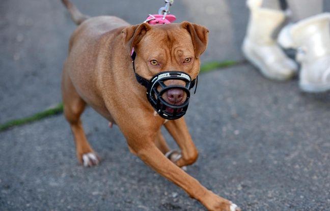 Tourcoing: Son chien a moitié égorgé par un molosse en liberté