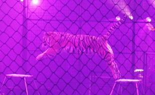 Un tigre de cirque (illustration).