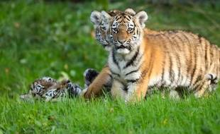 Des bébés tigres dans un zoo de Hambourg en 2017.