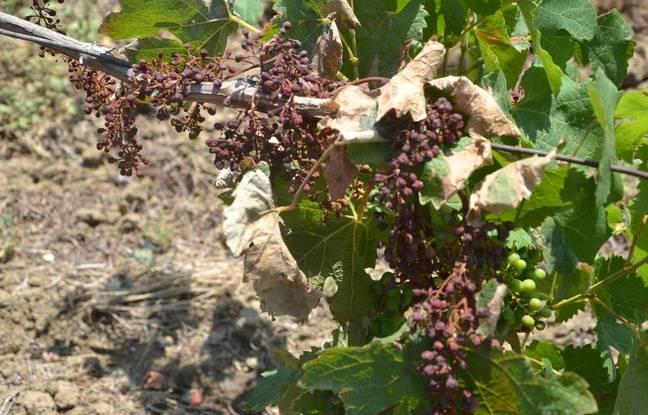 Environ un tiers du vignoble a été touché dans l'Hérault