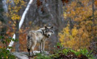 Un loup