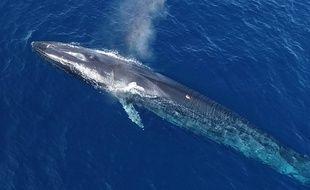 Un rorqual commun équipé d'une balise (le point rouge sur son dos), en mer Méditerranée.