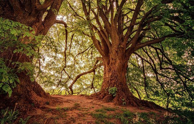 Illustration d'un arbre. La sylvothérapie est une nouvelle tendance du bien-être qui vise à se soigner par les arbres.
