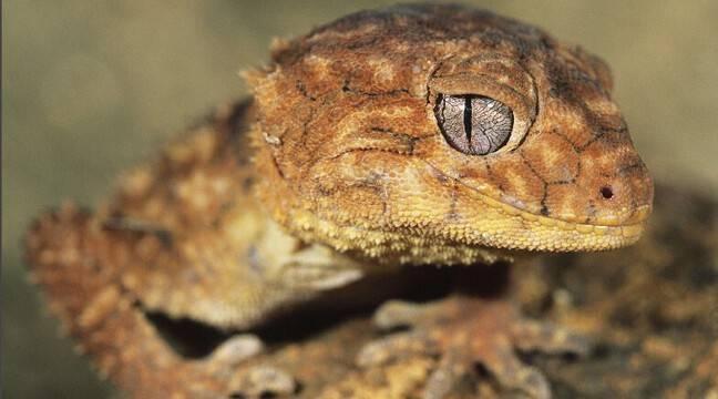Jouez à « geckolocaliser » ces gros lézards à ventouses qui débarquent partout en France