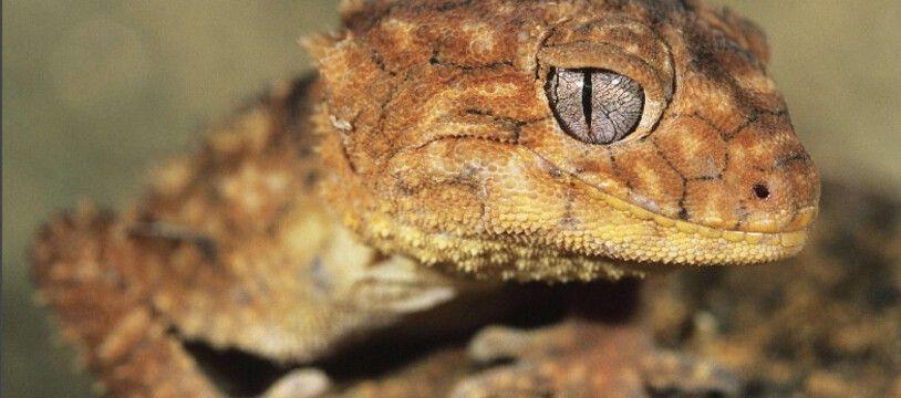Un gecko. Illustration.