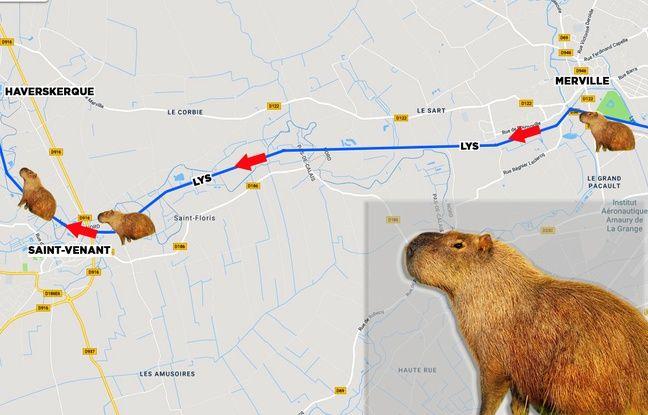 Le capybara suit le cours de la Lys.