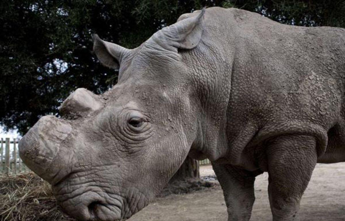 Un des derniers spécimens de rhinocéros blanc, dans une réserve au Kenya, en janvier 2010. – DESRUS BENEDICTE/SIPA