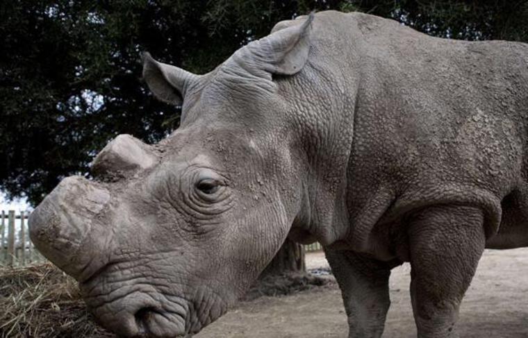 Un des derniers spécimens de rhinocéros blanc, dans une réserve au Kenya, en janvier 2010.